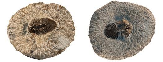 Les fossiles du Primaire