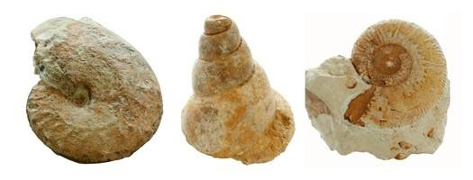Les fossiles du Callovien